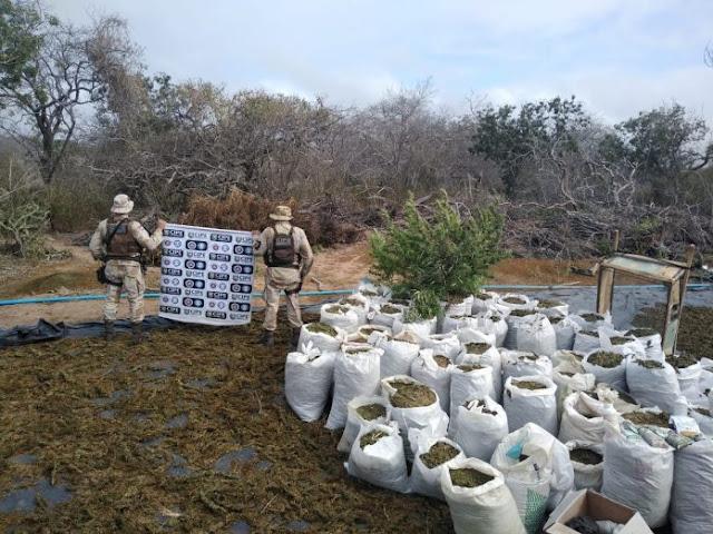 Plantação gigantesca de maconha é achada em Monte Santo