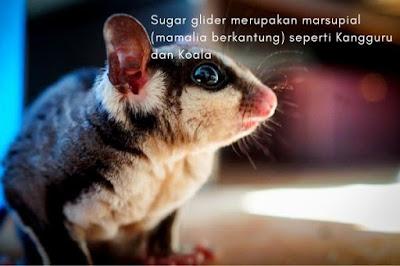 Cara Merawat Sugar Glider Joey