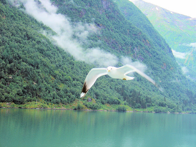 One of the playful seagulls who glided along our Fjærlandfjord express!
