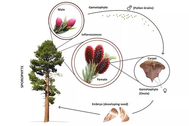 Apa itu Gymnospermae? Pengertian, Siklus Hidup, Cara Reproduksi