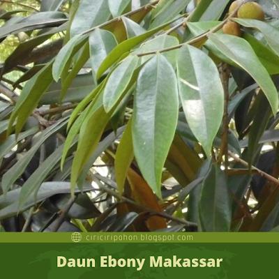 Ciri Ciri Daun Ebony Makassar