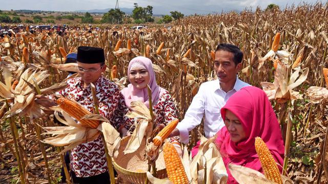 Jokowi Heran Harga Jagung Murah, Alvin Lie: Selama ini Dilapori yang Indah-indah tapi Menyesatkan?