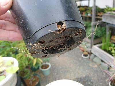 鉢の底 根