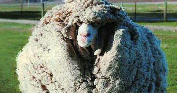 D'où vient la laine ?