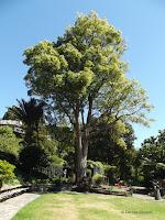 Camphor tree - Wellington Botanic Garden, New Zealand