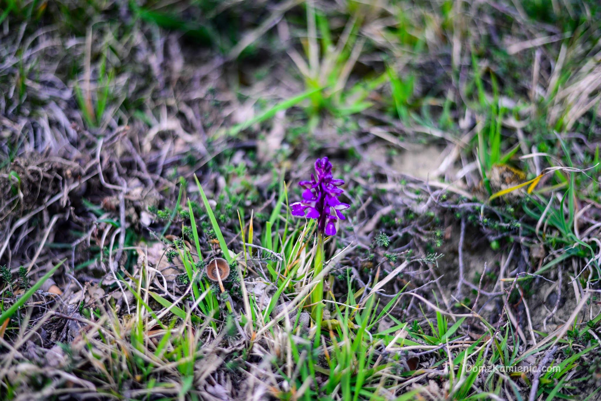 Dzika orchidea - Dom z Kamienia blog, Marradi