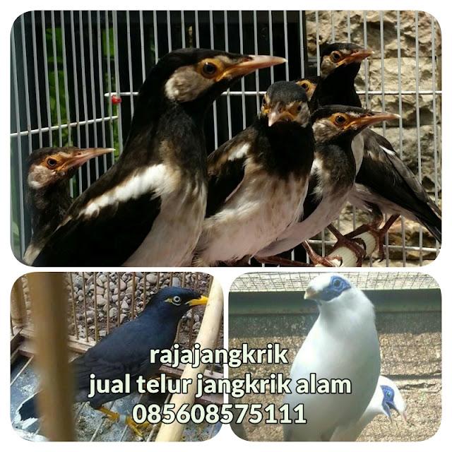 Daftar 5 Macam Burung Jalak yang Hidup Di Indonesia-Rajajangkrik