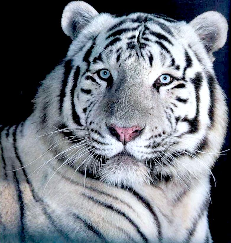 Jack aime jack n 39 aime pas un vrai tigre blanc - Photo de tigre blanc a imprimer ...