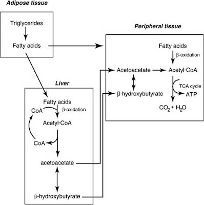 Mobilization of fatty acids