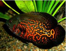 Jenis Jenis Ikan Hias Oscar Dan Harganya Di Pasaran