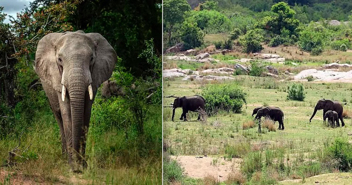 Suspected Rhino Poacher In South Africa Is Trampled To Death By A Group Of Wild Elephants