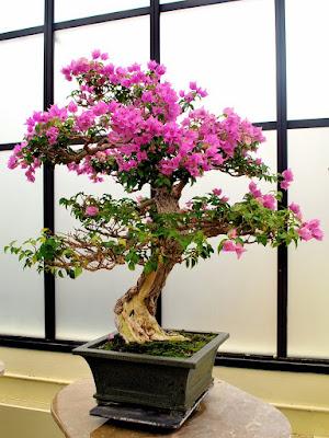 Bonsai Bunga Kertas (Bougainvillea)
