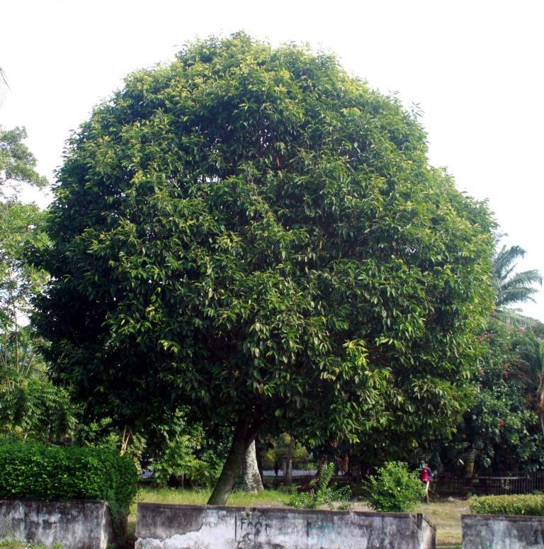 Rumah Bertingkat: 7 Jenis Pohon Peneduh Untuk Taman Minimalis Dan Halaman