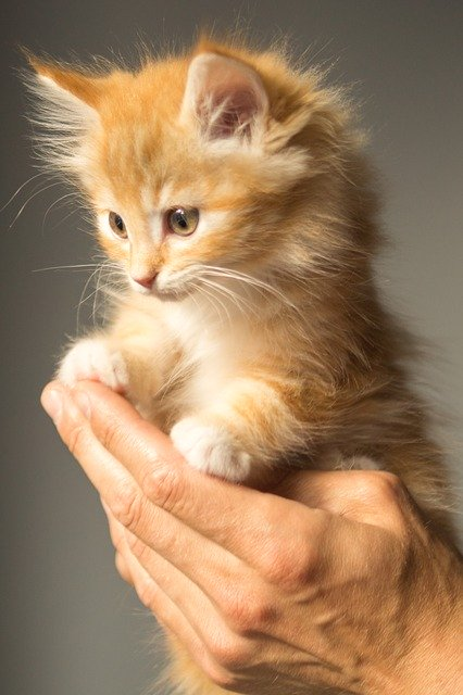 What is the proper feeding system for pet cats at home?| cat and dogs