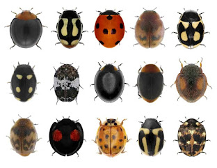 15 different types of ladybugs, showing the variety of colors and markings across species.