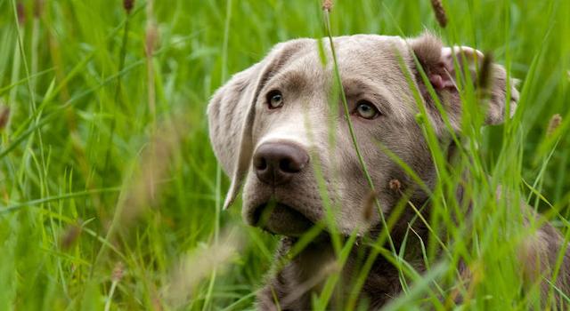 labrador de plata - en la hierba