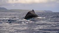 Baleine dans la baie de Samaná