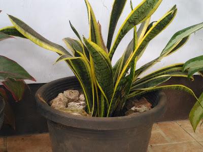 tanaman hias tahan panas matahari pohon kamboja