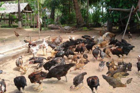 Cara Ternak Ayam Kampung Pemula