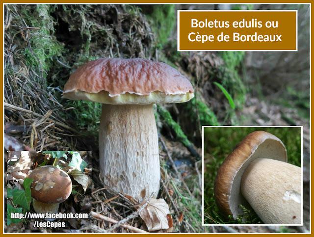 Le Boletus edulis ou Cèpe de Bordeaux