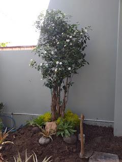 Bonsai jasmine