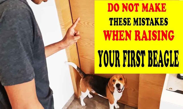 Do not make these mistakes when raising your first beagle
