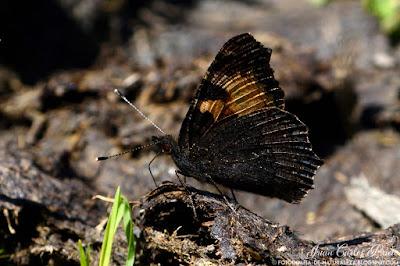 Aglais Urticae - Ortiguera (fotografia-de-naturaleza.blogspot.com)