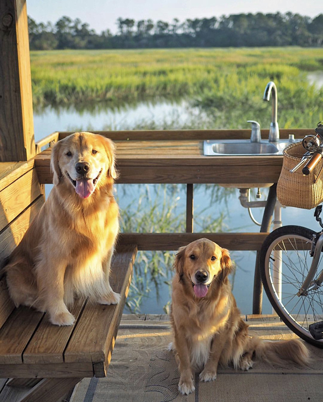 Golden Retrievers South Carolina