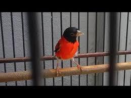 Harga Burung Red Siskin Gacor Terbaru