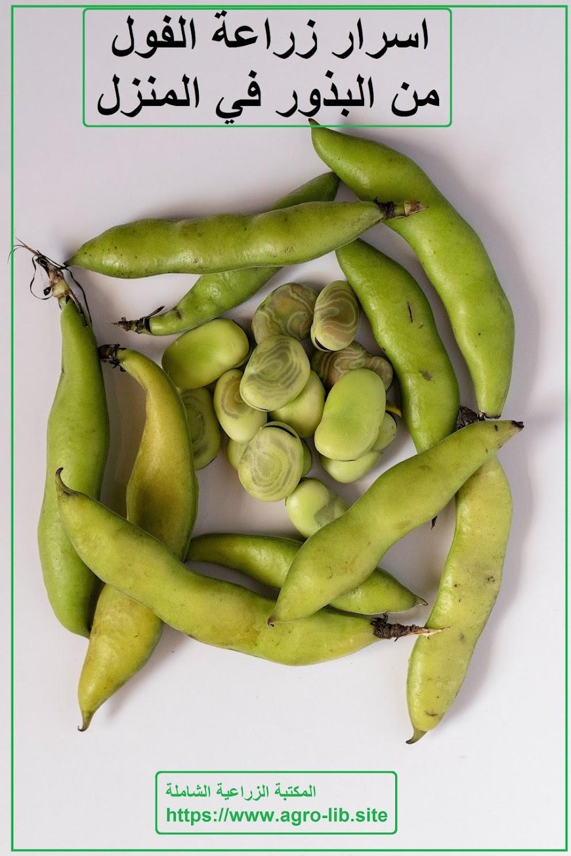 اسرار زراعة الفول من البذور في المنزل