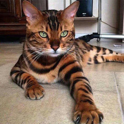 Toyger Cat breed personality