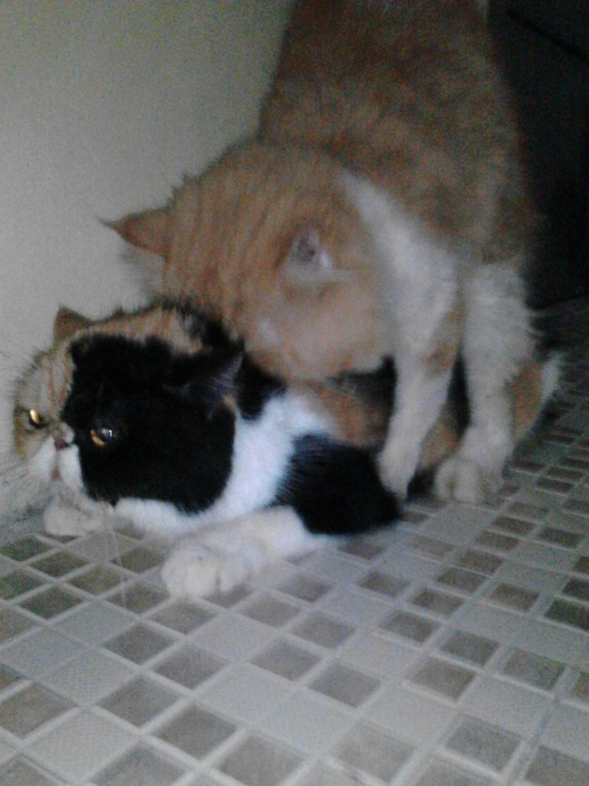 Pemacakan Kucing Peaknose Jogja Pemacakan Kucing Persia