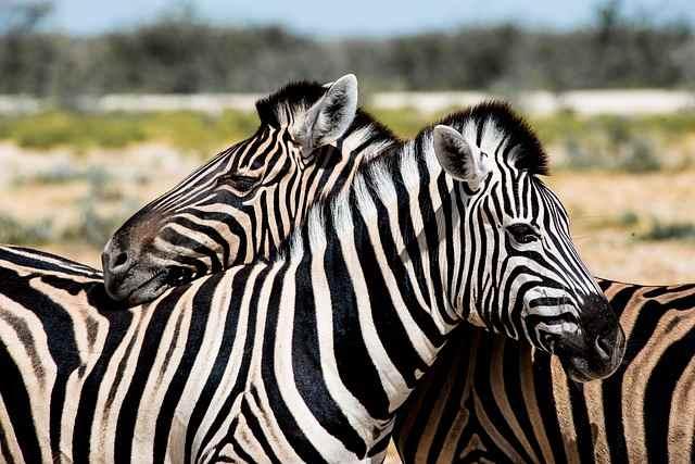fun zebra fact for kids