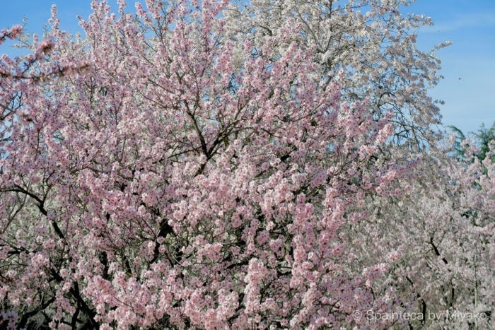 Madrid 桜に似ているスペインの満開のアーモンドの花