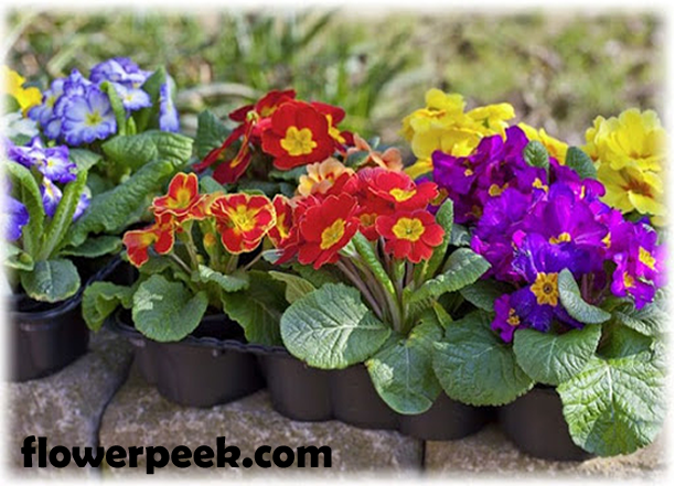 Tips on how to grow Primrose flowers