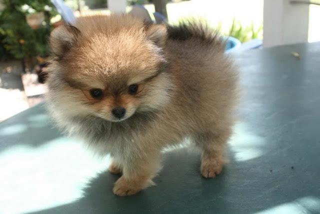 popular small dog breeds