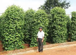 Kỹ thuật trồng tiêu của Ông Nguyễn Văn Quéo