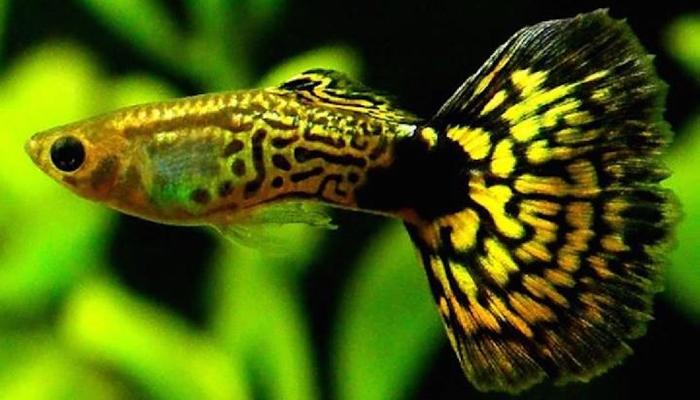 Asal Usul Ikan Hias Guppy