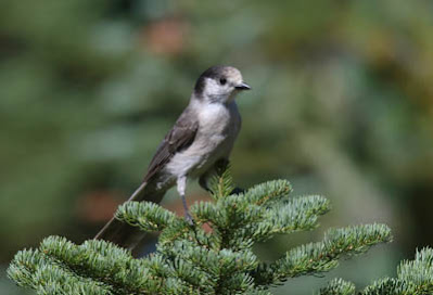 Photo of Canada Jay in conifer
