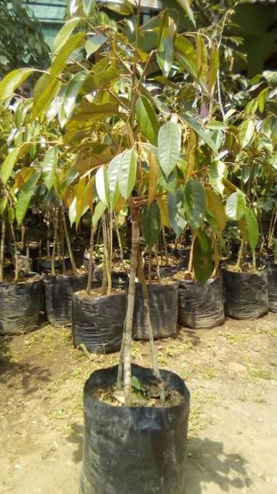 Bibit durian bawor siap berbuah Sumatra Selatan