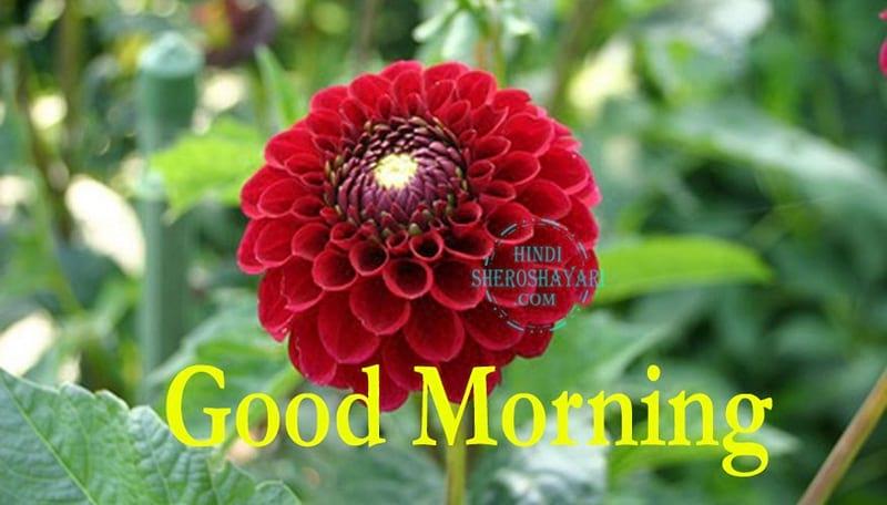 Chrysanthemums - Pompon Flowers Good Morning