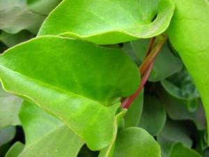 Daun binahong ialah salah satu daun yg cantik dalam pengobatan herbal untuk aneka macam pe Manfaat dan Manfaat Daun Binahong bagi Kesehatan
