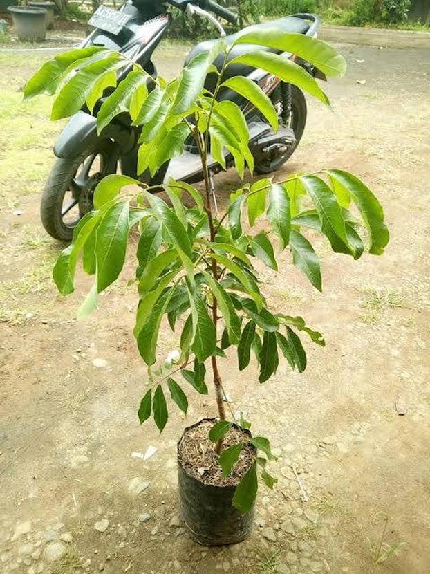 Bibit kelengkeng pimpong super genjah Jawa Barat