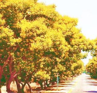 gulmohar tree height