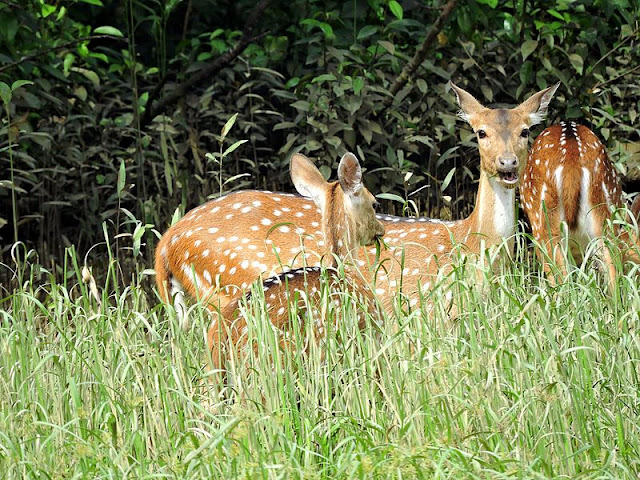 "A group of female 'Chitals' or ""Spotted Deer"" found grazing in the grasslands of Bhitarkanika National Park,Odisha.The species is sexually dimorphic ,as only the males bear antlers."