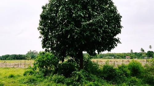 Cerita Manggis, Rambutan, Semut dan Tebuan di Kampung