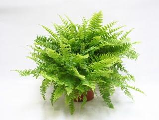 nephrolepis%2Bexaltata - Tumbuhan yang wajib ada didalam setiap rumah!