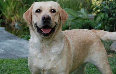 Labrador, Raza estrella del mundo