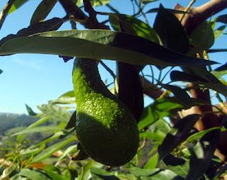 Fruto del aguacate