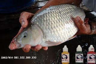 Essen Ikan Mas Subang Khusus Malam Hari